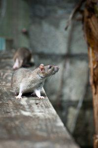 Rats Exterminated